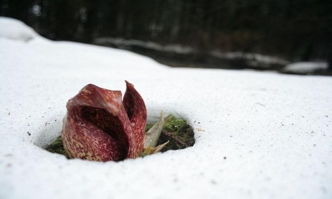 """<p class=""""Normal""""> Từ cuối tháng 2 đến tháng 5, trong những rừng cây hay đất ngập nước ở phía đông Canada và đông bắc nước Mỹ, một loại cây thấp có mùi thối mang tên bắp cải chồn hôi (Symplocarpus foetidus) thường sinh sôi phát triển. Đây là một trong những loài cây đầu tiên mọc lên vào mùa xuân ở Bắc Mỹ khi tuyết chưa tan. Ảnh: <em>Flickr.</em></p>"""