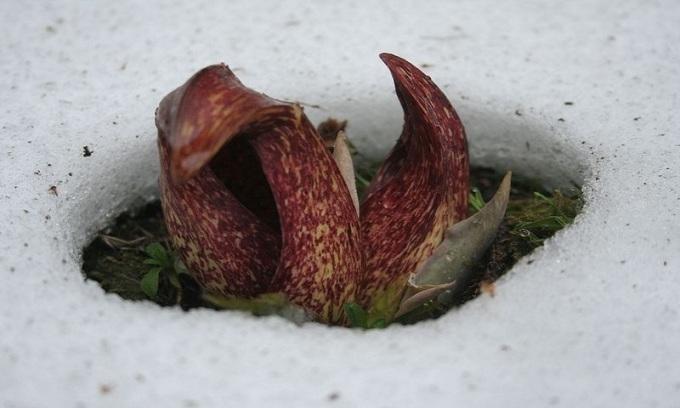 """<p class=""""Normal""""> Khi cây vươn khỏi lớp tuyết và bắt đầu ra hoa, nó tạo nên một vũng nước nhỏ bao quanh từ tuyết tan chảy. Lượng nhiệt cần thiết để làm chảy tuyết không đến từ ánh nắng mặt trời mà do chính cây phát ra. Bắp cải chồn hôi là một trong số ít loài thực vật có khả năng sinh nhiệt. Ảnh: <em>Flickr.</em></p>"""