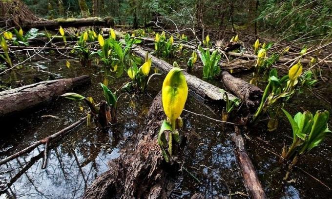 """<p class=""""Normal""""> Theo <em>Amusing Planet</em>, cây sinh nhiệt có mặt ở nhiều họ cây khác nhau, nhưng họ Ráy bao gồm nhiều loài hơn cả. Bắp cải chồn hôi, hoa ngựa thối, khoai tượng và cây trầu bà tay Phật chỉ là một số cây sinh nhiệt thuộc họ Ráy. Những loài cây này có thể phát ra lượng nhiệt lớn hơn so với động vật có vú. Ảnh: <em>Flickr.</em></p>"""