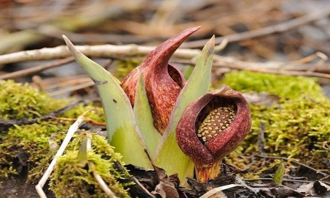 """<p class=""""Normal""""> Theo các nhà sinh học, cây sinh nhiệt tỏa nhiệt để hỗ trợ thụ phấn. Nhiệt lượng khiến hương hoa trở nên linh động hơn, giúp mùi hương lan rộng và côn trùng thụ phấn có thể tìm thấy vị trí cây từ xa. Ngoài ra, nhờ hơi nóng, các loài cây sinh nhiệt cũng trở nên hấp dẫn hơn với những côn trùng thích sự ấm áp. Ảnh: <em>Flickr.</em></p>"""