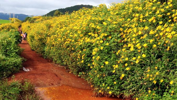 <p> Hoa dã quỳ nở trên cung đường đất đỏ bazan, nơi người nông dân ra vườn, lên rẫy.</p>