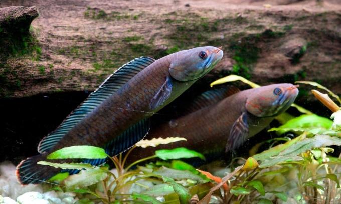 """<p class=""""Normal""""> Loài cá lóc mới có vảy óng ánh màu xanh lam. Ảnh: <em>Henning Strack Hansen/WWF</em></p> <p class=""""Normal""""> WWF hồi tháng 10 công bố phát hiện hơn 200 loài mới tại khu vực vùng núi đông Himalaya, trong đó đáng chú ý là loài cá lóc có vảy óng ánh màu xanh lam ở các con sông tây Bengal, Ấn Độ. Loài cá lóc này có thể trườn chậm trên cạn, sống và tồn tại trên cạn trong 4 ngày. Còn khi ở dưới nước, nó là kẻ săn mồi đáng sợ với hàm răng sắc nhọn.</p>"""