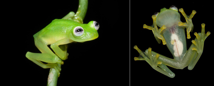"""<p> <span style=""""color:rgb(0,0,0);"""">Ếch thủy tinh Hyalinobatrachium dianae. Ảnh:<em> Costa Rican Amphibian Research Center</em></span></p> <p> <span style=""""color:rgb(0,0,0);"""">Loài ếch thủy tinh mới sống về đêm tại rừng mưa Costa Rica gây chú ý các nhà khoa học do ngoại hình của nó giống chú rối ếch nổi tiếng Kermit. Nó có tên khoa học là Hyalinobatrachium dianae, với chiều dài cơ thể khoảng 2,5 cm và có thể nhìn thấy nội tạng bên trong qua màng da mỏng phần dưới bụng.</span></p>"""