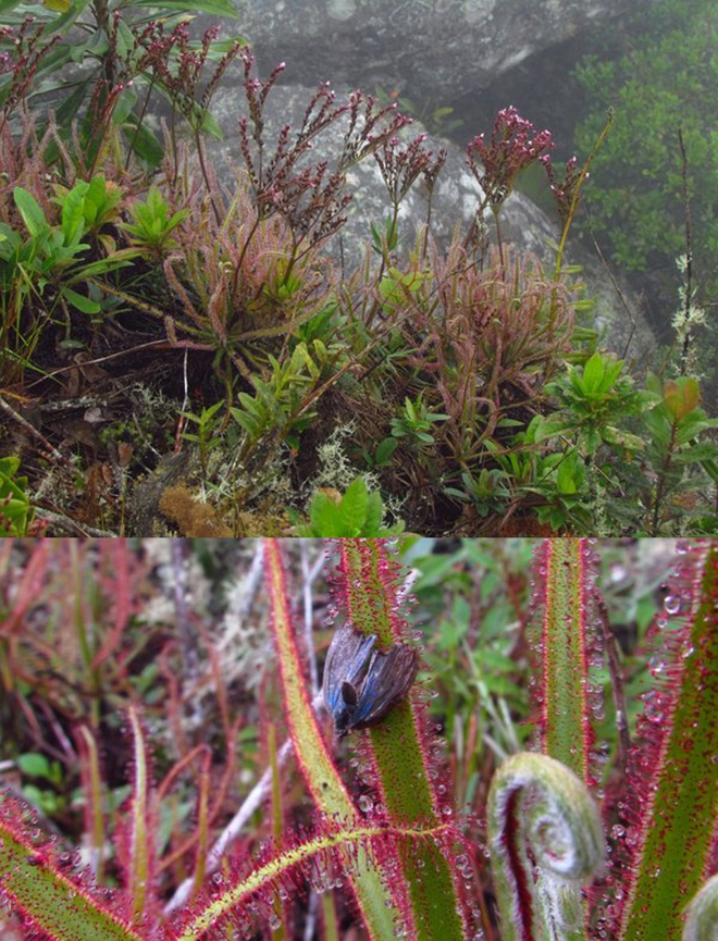 """<p> <span style=""""color:rgb(0,0,0);"""">Loài thực vật ăn thịt Drosera magnifica có thể phát triển cao đến 1,5 m (trên) và con mồi sập bẫy (dưới). Ảnh: <em>Paulo Gonella</em></span></p> <p> <span style=""""color:rgb(0,0,0);"""">Đây là một trong những khám phá loài thú vị trong năm 2015. Lần đầu tiên loài Drosera magnifica được nhà thực vật học nghiệp dư Reginaldo Vasconcelos chụp ảnh được trong một chuyến leo núi gần nhà ở miền đông nam Brazil vào năm 2012, sau đó ông đăng lên Facebook. Một năm sau, nhà nghiên cứu thực vật Paulo Gonella phát hiện những hình ảnh loài này trên Facebook và quyết định điều tra. Qua quá trình nghiên cứu hợp tác với Đại học São Paulo (Brazil), đến nay nhóm nghiên cứu mới công nhận Drosera magnifica là loài thực vật ăn thịt mới. Loài cây ăn thịt lớn nhất châu Mỹ này có thể cao đến 1,5 m, và những xúc tua đầy chất dính</span><span style=""""color:rgb(0,0,0);"""">được bố trí</span><span style=""""color:rgb(0,0,0);"""">xung quanh để bẫy côn trùng to như chuồn chuồn.</span></p>"""