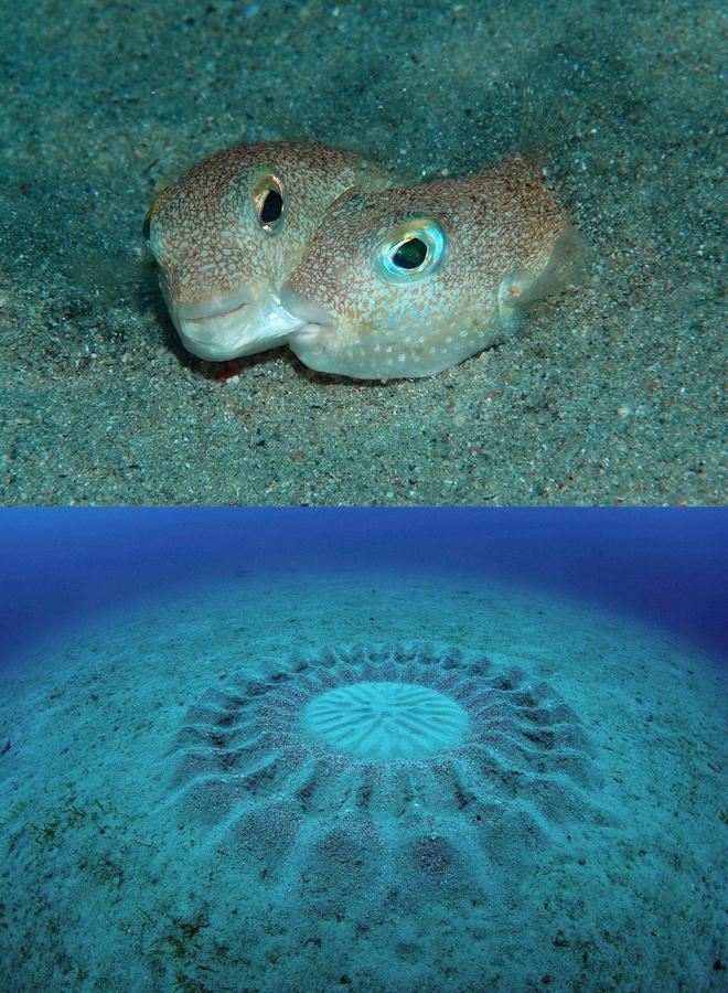 """<p> <span style=""""color:rgb(0,0,0);"""">Một cặp cá nóc Torquigener albomaculosus đang tán tỉnh trong mùa giao phối (trên), và vòng tròn bí ẩn dưới đáy biển Nhật Bản (dưới). Ảnh: <em>Yoji Okata-Minden Pictures</em></span></p> <p> <span style=""""color:rgb(0,0,0);"""">Vòng tròn bí ẩn dưới đáy biển trong suốt 20 năm qua ở ngoài khơi đảo Amami-Ōshima của Nhật Bản cuối cùng cũng được giải mã. Vòng tròn đó do loài cá nóc Torquigener albomaculosus tạo ra. </span></p> <p> <span style=""""color:rgb(0,0,0);"""">Con đực có chiều dài cơ thể khoảng 13 cm """"thiết kế"""" vòng tròn rộng khoảng 1,8m để làm tổ bằng cách bơi và lăn lộn trong cát dưới đáy biển. Con cái sẽ chọn tác phẩm vòng tròn nào có hoa văn nghệ thuật đẹp nhất để giao phối, đẻ trứng vào giữa vòng tròn và vùi cát lên trứng.</span></p>"""