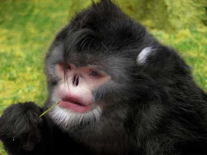 """<p class=""""Normal""""> Loài khỉ mũi hếch Rhinopithecus Strykeri. Ảnh: <em>Thomas Geissmann</em></p> <p class=""""Normal""""> <span>Loài khỉ mũi hếch tại vùng núi hẻo lánh</span><span>phía đông</span><span>Himalaya, Myanmar nằm trong số 200 loài mới được các nhà khoa học Quỹ Quốc tế Bảo vệ Thiên Nhiên (WWF) công bố hồi tháng 10/2015.</span></p> <p class=""""Normal""""> <span>Khỉ mũi hếch không có sống mũi, song lại có cặp môi rất dày. Do thiếu sống mũi nên hai lỗ mũi của khỉ hướng lên phía trên khiến nước mưa rất dễ lọt vào và gây hiện tượng hắt hơi. Chính vì vậy mà loài khỉ này luôn cố giấu chiếc mũi hếch bằng cách kẹp đầu giữa hai đầu gối để tránh nước rơi vào mũi mỗi khi trời mưa.</span></p>"""