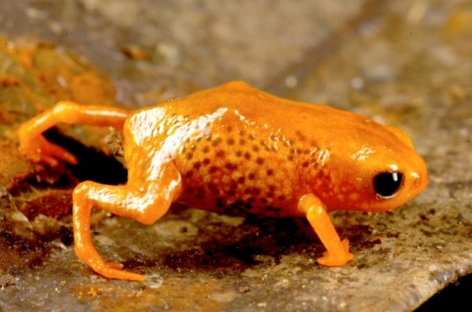 """<p class=""""Normal""""> Brachycephalus leopardus - một trong 7 loài ếch tí hon mới. Ảnh:<em> Marcio R. Pie - Đại học Liên bang Parana</em></p> <p class=""""Normal""""> <span>Các nhà khoa học tại đại học Liên bang Parana (thành phố Curitiba, Brazil) hồi tháng 6 công bố phát hiện 7 loài ếch tí hon Brachycephalus tại các khu rừng mưa trên 7 ngọn núi lân cận ở Brazil. </span></p> <p class=""""Normal""""> <span>Chúng đều có màu sắc sặc sỡ, con trưởng thành chỉ dài khoảng một cm, chưa bằng móng tay người. Đặc biệt, các loài ếch tí hon mới có chất độc tetrodoxin tiết ra từ lớp da có màu sặc sỡ, được xem là vũ khí nguy hiểm đối với bất kỳ loài nào muốn xơi tái chúng. </span></p> <p class=""""Normal""""> <span>Nhóm nghiên cứu mô tả tetrodoxin là """"chất độc chết người"""", cũng có trong tuyến độc của cá nóc và bạch tuộc đốm xanh. Họ mô tả các khu rừng mưa nhiều mây nêu trên tại độ cao 1.000 - 1.500m có khí hậu mát mẻ và giữa chúng được phân cách bởi các thung lũng màu mỡ, tạo nên hệ sinh thái độc đáo riêng có của vùng. Mối đe dọa tới các loài ếch tí hon này là loại nấm Batrachochytrium dendrobatidis có thể khiến chúng bị khô da và suy tim.</span></p>"""
