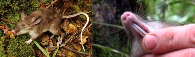 """<p class=""""Normal""""> Loài chuột mũi lợn Hyorhinomys stuempkei. Ảnh:<em> Museum of Victoria</em></p> <p class=""""Normal""""> <span>Loài này được các nhà khoa học tại Bảo tàng Victoria, Australia phát hiện năm 2013 trên đảo Sulawesi, Indonesia nhưng đến năm 2015 mới được công nhận là loài chuột chù mới.</span><span>Họ gọi tên chuột mũi lợn vì nó có đôi tai to, lông mõm dài và đặc biệt cái mũi y hệt con lợn.</span></p>"""