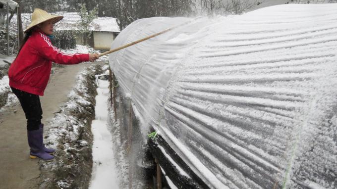 """<p class=""""Normal""""> Nông dân Sa Pa đập cho tuyết rơi khỏi mái che bằng nylon để bảo vệ hàng nghìn gốc hoa ly chuẩn bị đến ngày thu hoạch.</p>"""