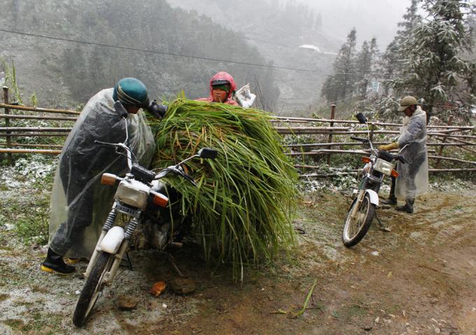 """<p class=""""Normal""""> Vợ chồng người Mông tranh thủ đi cắt cỏ về dự trữ vì sợ lớp tuyết dày phủ kín không còn cỏ cho trâu bò ăn.</p>"""