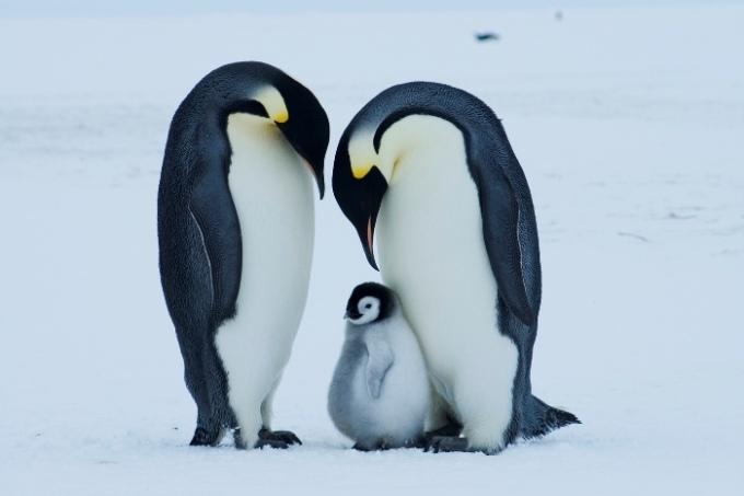"""<p class=""""Normal""""> <span>Chim cánh cụt là loài đông đảo nhất ở Nam Cực. Các nhà nghiên cứu phát hiện ra rằng chim cánh cụt có một số lượng lớn các gene tạo ra beta-keratin, một loại protein hình thành bộ lông của chúng. Do đó, chim cánh cụt có bộ lông dày, sợi ngắn và cứng để giữ ấm cơ thể. Chim cánh cụt cũng quây quần sát bên nhau để giữ nhiệt cho cả đàn. Vào giữa mùa đông ở Nam Cực, khoảng 6000 chú chim cánh cụt đực trưởng thành sẽ rúc sát vào nhau để ấp trứng.</span><span>Ảnh:</span><em>Earth Rangers</em></p>"""