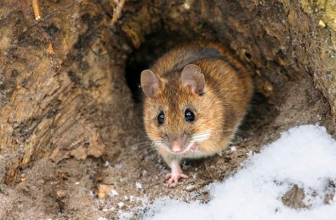 """<p class=""""Normal""""> Chuột đào hang trong tuyết để tránh rét suốt mùa đông.<br /><br /><span>Động vật thích nghi với môi trường nhờ cấu tạo cơ thể, nhờ ngủ đông, di cư đến nơi ấm áp và tích trữ năng lượng để hình thành lớp mỡ dày. Ngoài ra, mỗi loài còn nhiều tuyệt chiêu để thích ứng với thời tiết giá lạnh của mùa đông khắc nghiệt.</span></p>"""
