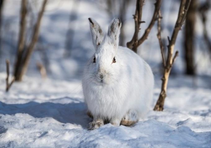 """<p> <span style=""""color:rgb(0,0,0);line-height:20px;"""">Có loài phát triển bộ lông dày hơn để giữ ấm, có loài thì thay đổi màu lông. Loài thỏ rừng giày tuyết sinh sống ở Bắc Mỹ chuyển lông màu trắng như tuyết vào mùa đông. Lớp áo khoác này giữ ấm tốt hơn lớp màu nâu vào mùa hè.</span></p>"""