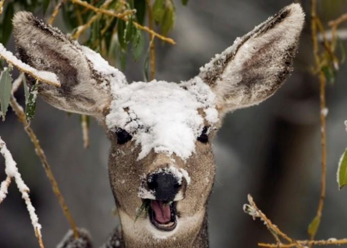 """<p class=""""Normal""""> Các loài hươu nai có bộ lông dày hơn vào mùa đông để giữ ấm cơ thể.</p>"""