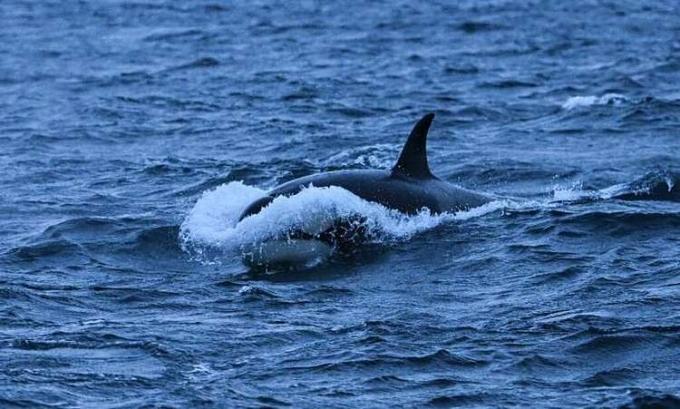 Google dùng AI để bảo vệ cá voi đang đứng trước bờ vực tuyệt chủng. Ảnh: Techxplore.