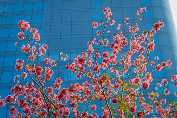 <p> Những đóa hoa kèn hồng đua nhau khoe sắc bên toà nhà cao tầng trên đại lộ Võ Văn Kiệt (quận 1).</p>