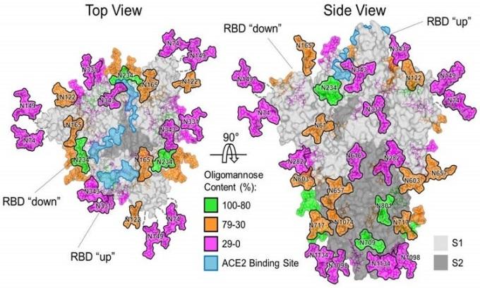 Mô hình gai protein của nCoV, Ảnh: Đại học Southampton.
