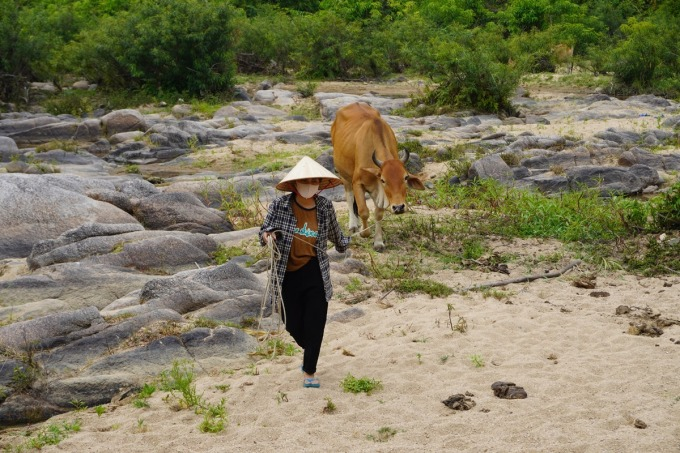 Kỳ thi THPT quốc gia cận kề, Lệ hằng ngày phải đi chăn bò giúp bố mẹ. Ảnh: Trần Hóa.