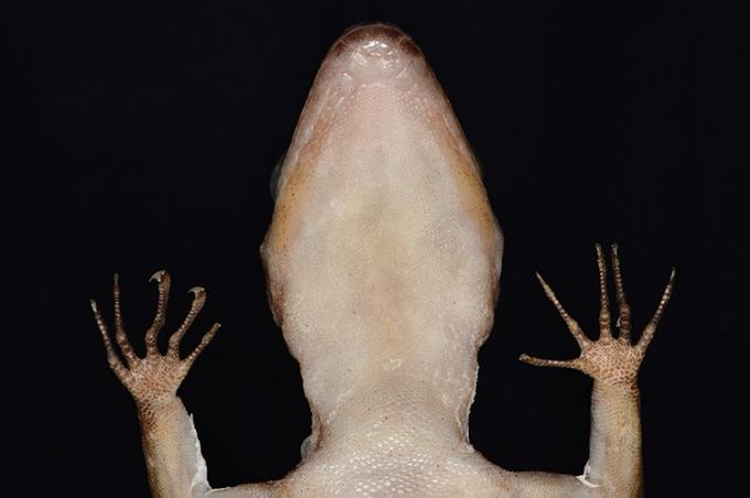 C. phnomchiensis có các ngón chân dài và cong. Ảnh:ZooKeys.
