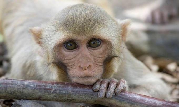 Các nhà nghiên cứu cho khỉ vàng dùng thử thuốcremdesivir. Ảnh: APA.