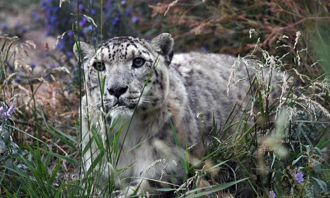 Báo tuyết là động vật quý hiếm chỉ có ở vùng núi cao Trung Á. Ảnh: AFP.