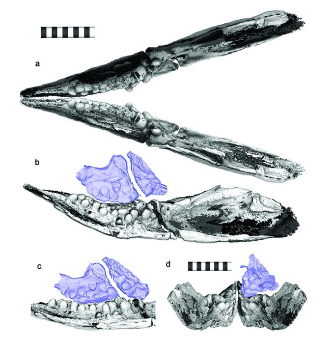 Những chiếc răng như đá cuội của C. lenticarpus. Ảnh:Ryosuke Motani et al.