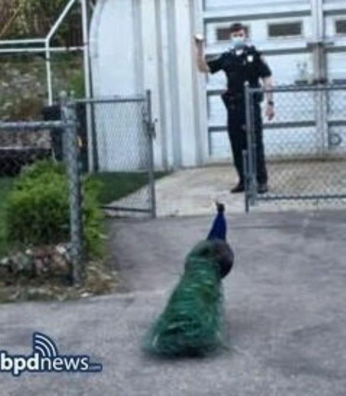 Cảnh sát phát tiếng gọi bạn tình của công cái để dụ Snowbank quay về.