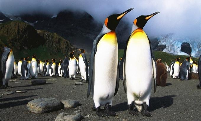 Chim cánh cụt vua ở Nam Cực. Ảnh: Carbon Brief.