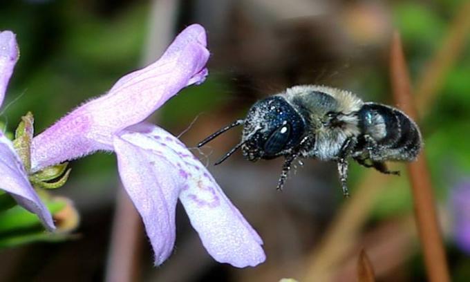 Một con ongcalaminthae xanh tìm mật hoa C. ashei. Ảnh:Tim Lethbridge.