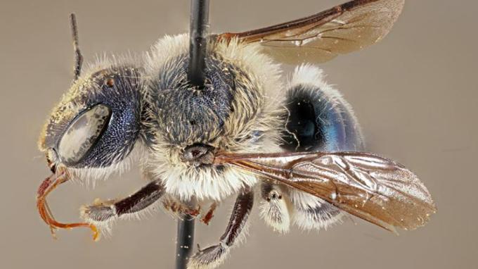 Một mẫu vật O.calaminthae thu thập vào năm 2002. Ảnh: CNN.