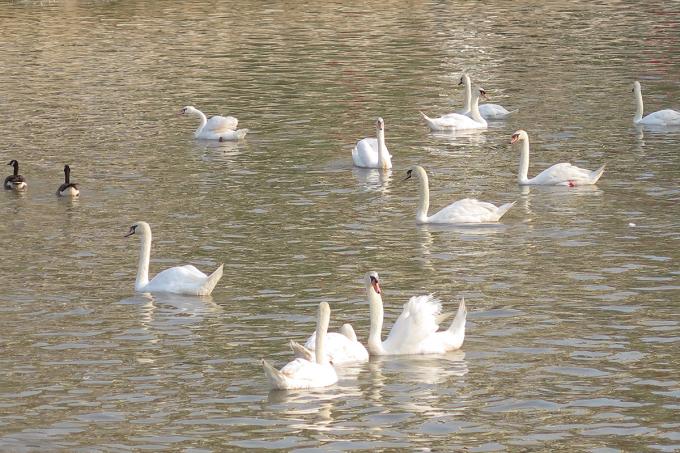 Với số thiên nga thả thêm trong đợt này, số lượng cá thể thiên nga trên sông Tam Bạc sẽ được nâng lên 200 con. Ảnh: Giang Chinh