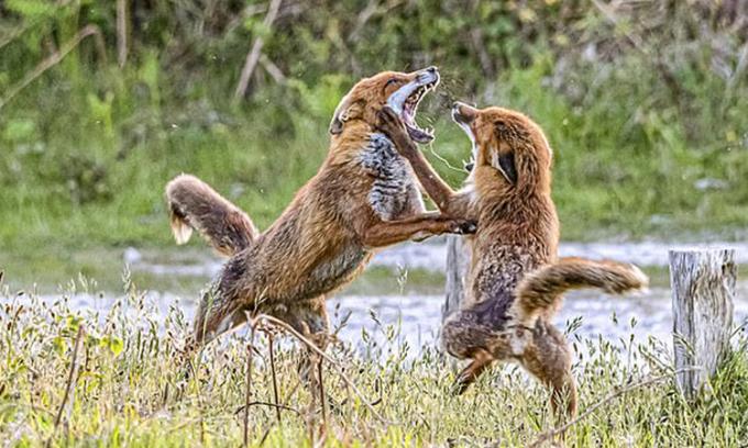 Đôi cáo đỏ ẩu đả trước mặt nhiếp ảnh gia