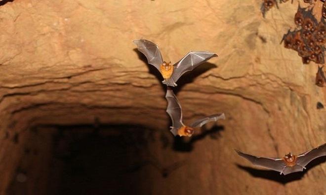 Nhóm nghiên cứu kiểm tra mẫu vật lấy từ hơn 1.000 con dơi ở Gabon. Ảnh: SWNS.