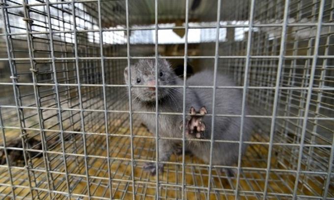 Nông dân Hà Lan nhiễm nCoV từ chồn