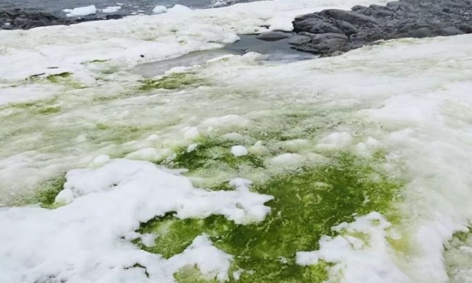 Tuyết xanh do tảo nở hoa gây ra. Ảnh: Newsweek.