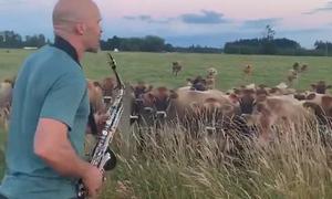 Đàn bò tập trung nghe người đàn ông thổi kèn