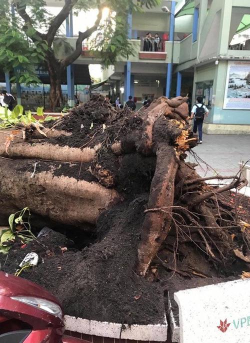 Rễ cây phượng cổ thụ khá nông. Ảnh:Trường THCS Bạch Đằng.