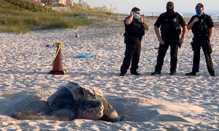 Rùa da nặng 360 kg bò lên bờ làm tổ
