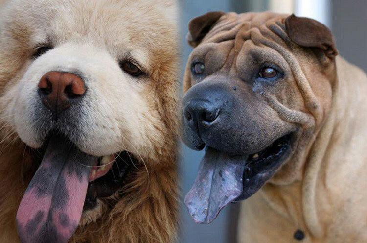 Chó khôn có thể hiện qua đốm lưỡi?