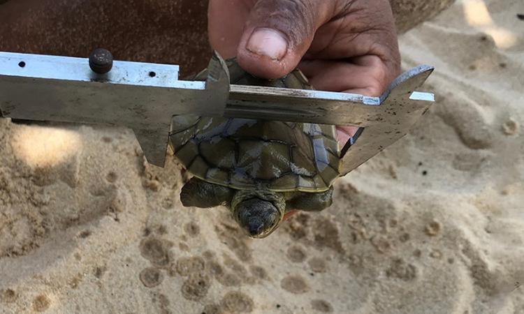 Ấp nở hàng chục rùa hoàng gia