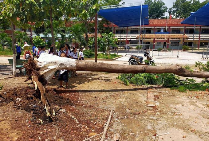 Cây phượng ngã đổ ở sân trường tiểu học Thái Hòa. Ảnh: Thái Hà