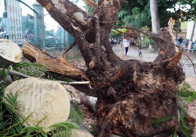 Bộ rễ của cây phượng đã mục nát. Ảnh: Phước Tuấn