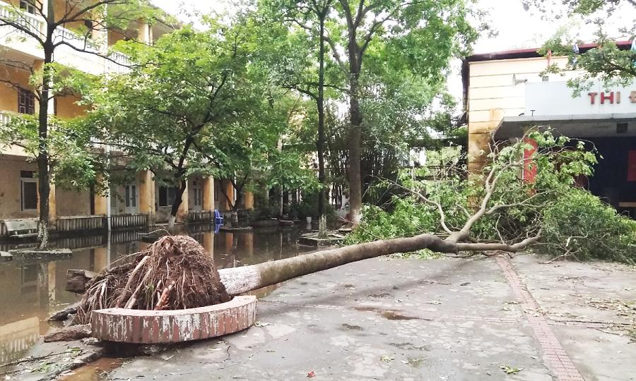 Trường học lo cây đổ