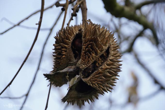 Trái sầu riêng tại vườn nhà ông Đoàn Văn Ham chết héo, nứt nẻ vì thiếu nước. Ảnh: Hoàng Nam.