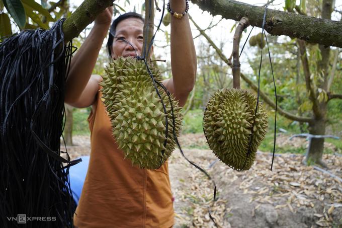 Sợ những trái sầu riêng còn sót lại tại vườn rụng do thiếu nước, vợ ông Nguyễn Văn Phước dùng dây neo lại. Ảnh: Hoàng Nam.
