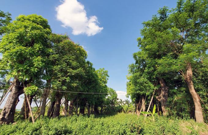 Trên 80% cây xà cừ đã xanh tốt sau gần 4 năm được đánh chuyển về vườm ươm tại Đa Tốn, Gia Lâm. Ảnh: Võ Hải.