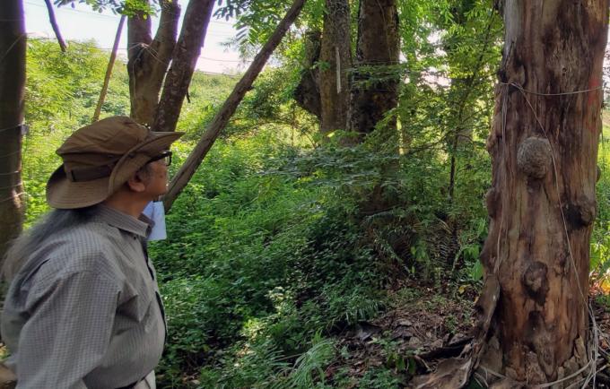 Ông Lê Huy Cường bên một cây xà cừ bị chết tại vườn ươm Đa Tốn. Có hơn 20 cây xà cừ bị chết sau khi đánh chuyển về vườn ươm. Ảnh: Võ Hải.