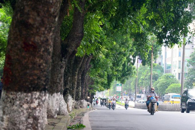 Hàng xà cừ cổ thụ trên đường Kim Mã trước khi bị đánh chuyển phục vụ thi công dự án. Ảnh: Bá Đô.