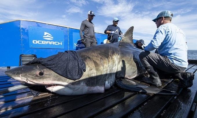 Nhóm nghiên cứu đeo thiết bị theo dõi cho cá mập trắngUnamaki. Ảnh: KATC.