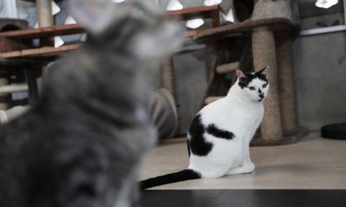 Một con mèo khoang được làm vật nuôi trong nhà. Ảnh minh họa: Straits Times.